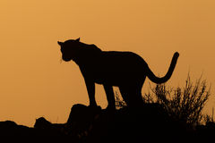 Leopard silhouette Royalty Free Stock Photo