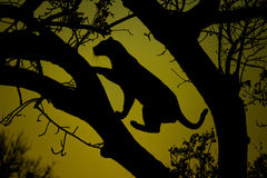 Leopard silhouette in a tree Royalty Free Stock Photo