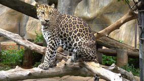Leopard sit in jungle in zoo. An animal. With a beautiful skin stock video