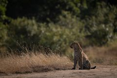 Leopard sits on sandy ground looking left royalty free stock photo
