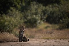 Leopard sits on sandy ground looking right royalty free stock photography