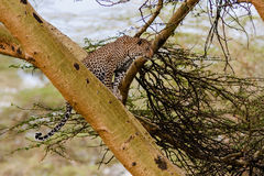 The leopard sits on a tree. Observation point. Kenya. royalty free stock photos
