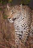 Leopard sitting alert in savannah Royalty Free Stock Images
