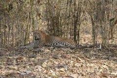 Leopard sitting in Bamboo grove at Tadoba Tiger reserve Maharashtra,India. Asia royalty free stock photo