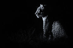 Leopard sitting in darkness hunting prey artistic conversion Stock Photography