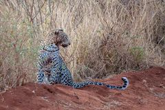 Leopard is sitting, with a dirty mouth, after hunting Stock Images