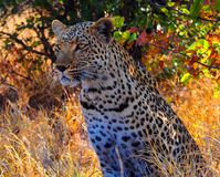 Leopard sitting fin shade of tree. Leopard sitting/staring in shade of tree. This is a young male in his natural habitat - Savuti Game Reserve in BotswananLatin royalty free stock image