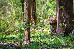 Leopard sitting in forest Stock Photos