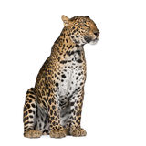 Leopard sitting in front of a white background Stock Photography