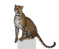 Leopard sitting in front of a white background Stock Photo