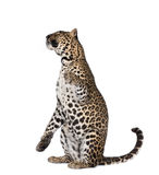 Leopard sitting in front of a white background Stock Photos