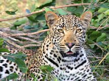 Leopard Sitting on Green Grass Royalty Free Stock Image