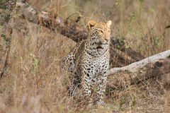 Leopard sitting. In high grass looking around Royalty Free Stock Image