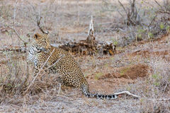 Leopard sitting Stock Photography