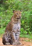 Leopard sitting on a sand road. The Sri Lankan leopard Panthera pardus kotiya Stock Images