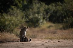 Leopard sitting on sandy ground looking back royalty free stock photo