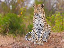 Leopard sitting in savannah Stock Photo