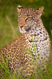 Leopard sitting in savannah Stock Photography