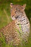 Leopard sitting in savannah. Leopard (Panthera pardus) sitting in savannah in nature reserve in South Africa. Night shot Stock Photography