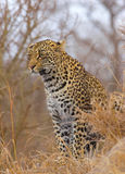 Leopard sitting in savannah Royalty Free Stock Image
