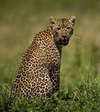 Leopard sitting, Serengeti Stock Photo