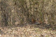 Leopard sitting in a shade  at Tadoba Tiger reserve Maharashtra,India. Asia royalty free stock photography