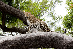 Leopard sitting on a tree Royalty Free Stock Photos