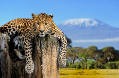 Leopard. Sitting on a tree on a background of Mount Kilimanjaro Stock Photo