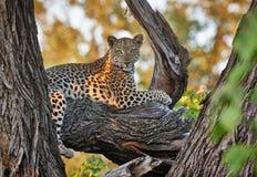 Leopard sitting in a tree. Female Leopard (Panthera pardus) sitting in a tree, Chitabe, Okavango Delta, Botswana, Africa Stock Image