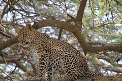 Leopard sitting on a tree Royalty Free Stock Image