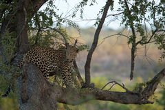 A Leopard sitting in a tree in the Kruger. Stock Image