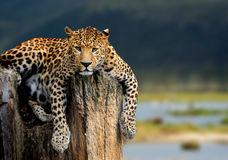 Leopard. Sitting on a tree on nature background Royalty Free Stock Image