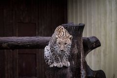 Leopard sitting on trunk in zoo stock photo