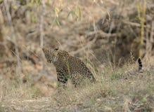 Leopard sitting and watching safari vehical. At Tadoba Andhari Tiger Reserve royalty free stock images