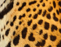 Leopard skin. Close up as background royalty free stock image