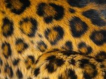 Leopard skin detail Royalty Free Stock Image