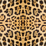 Leopard skin texture Royalty Free Stock Photography