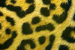 Leopard skin texture Stock Image