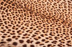 Leopard skin Royalty Free Stock Photos