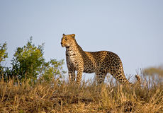 Leopard on the skyline. A leopard in South Africa on the skyline looking around stock photos