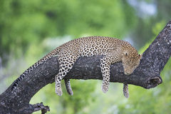Leopard sleep Royalty Free Stock Photos