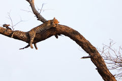 Free Leopard Sleeping In A Tree Stock Image - 24353131