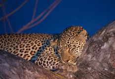 Free Leopard Sleeping On The Tree Royalty Free Stock Photography - 12188097
