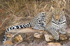 Leopard sleeping (Panthera pardus) Royalty Free Stock Image