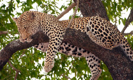 Leopard sleeping on the tree. Leopard (Panthera pardus) sleeping on the tree in nature reserve in South Africa Royalty Free Stock Photo