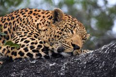 Leopard  sleeping in the tree Royalty Free Stock Photos