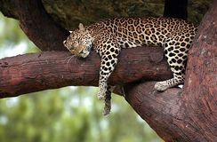 Leopard sleeping in a tree Royalty Free Stock Image