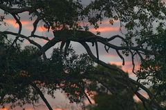 Leopard sleeping in tree at sunset in Masai Mara in Kenya, Africa Royalty Free Stock Images