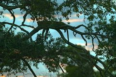 Leopard sleeping in tree at sunset in Masai Mara in Kenya, Africa Stock Image