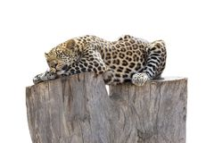 Leopard sleeping on tree trunk Royalty Free Stock Photos